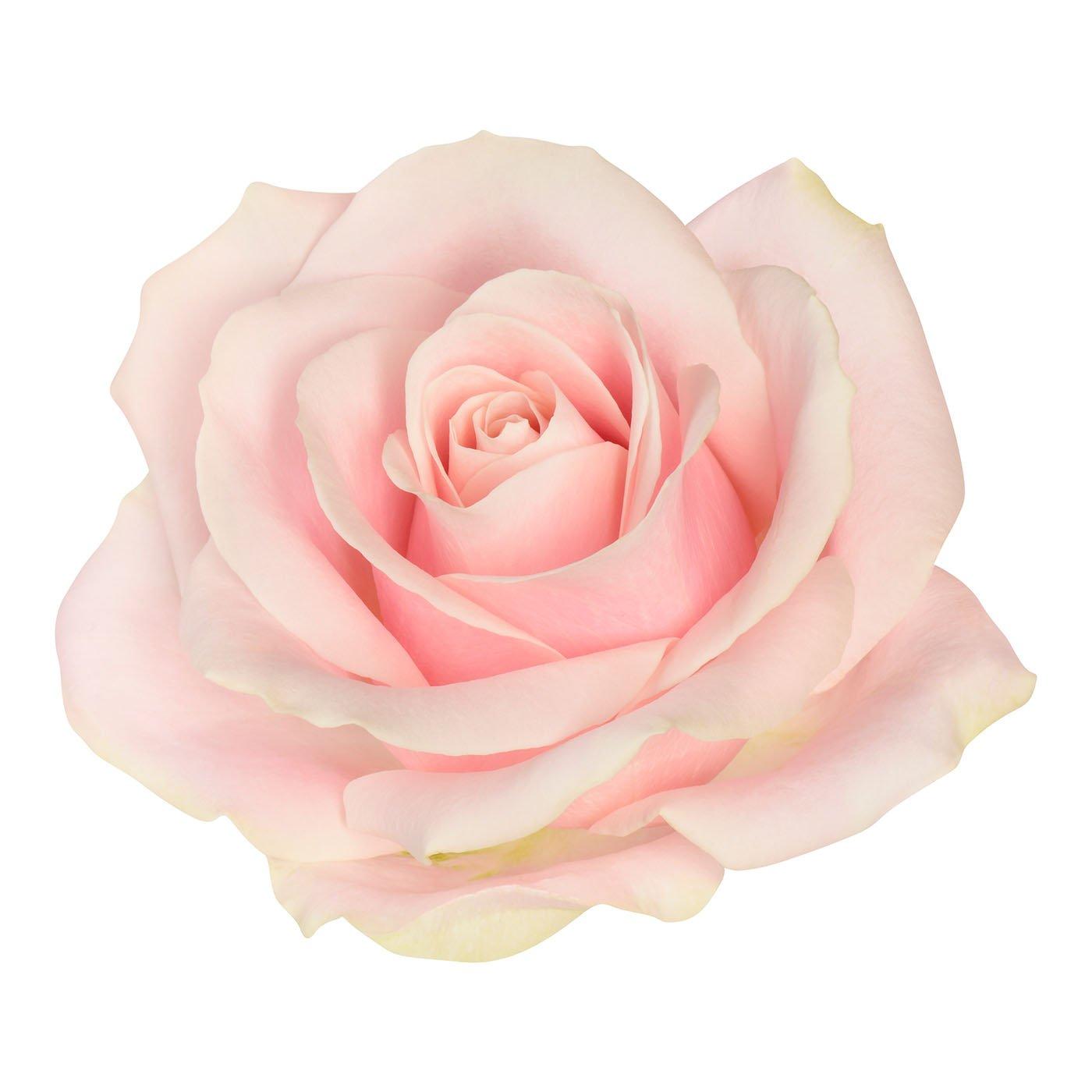 gros plan sur une belle rose rose